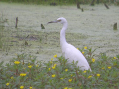 Immature Little Blue Heron, Southern Chinook Mine (Light and Moyer wetland), Clay County, Indiana. August 24, 2005.