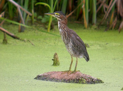 Green Heron, Northern Chinook Mine, August 13, 2005.