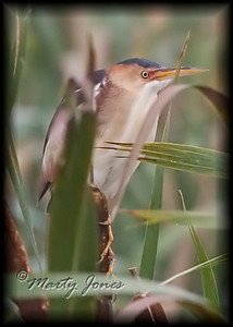Least Bittern, Universal Mine Marsh/Wetland on Brouillette's Creek Road, July 31, 2008.