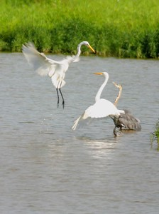 Great Egrets, Lake Tannenbaum, Parke County, Indiana, 2005.