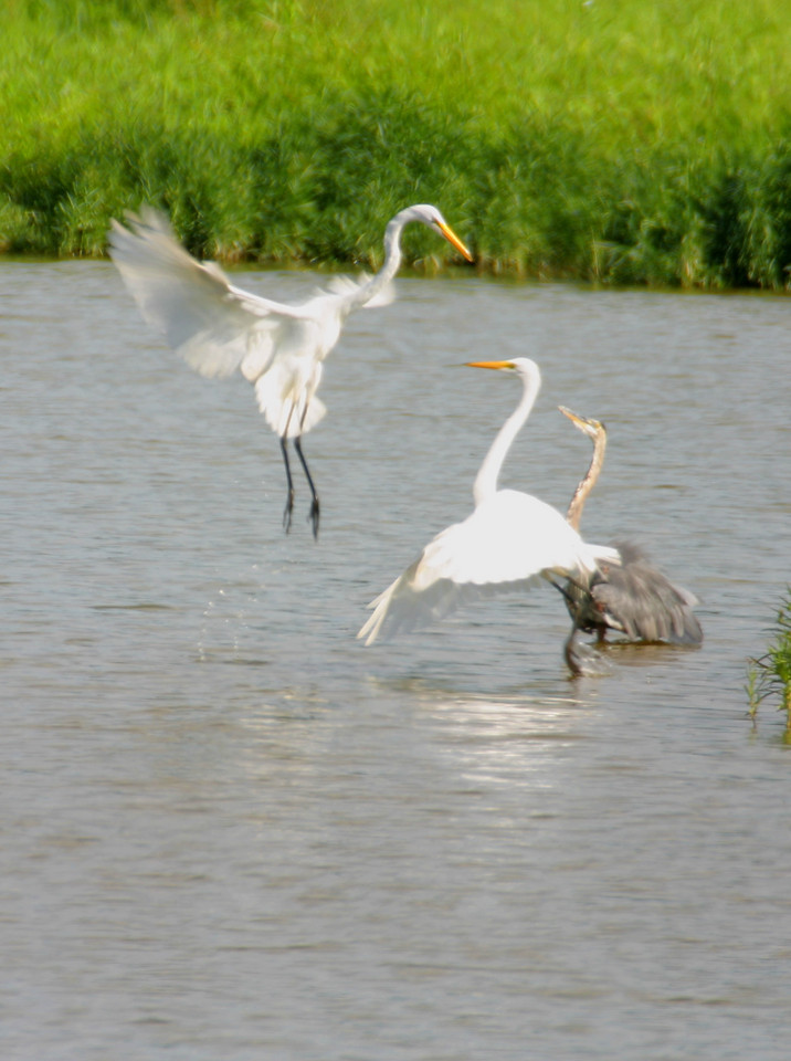 Great Egrets, Lake Tannenbaum, Parke County, Indiana, 2005.