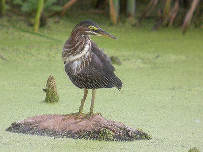 Green Heron, Northern Chinook Mine, August 13, 2005
