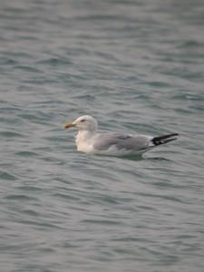 Herring Gull, Beverly Shores, Indiana, Lake Michigan, Sept 13, 2005.
