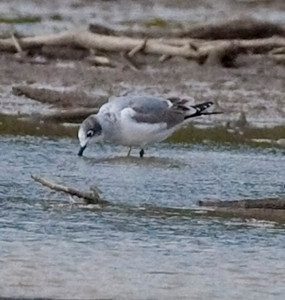 Franklin's Gull, Eagle Creek Park, Marion County, Indiana, #276.