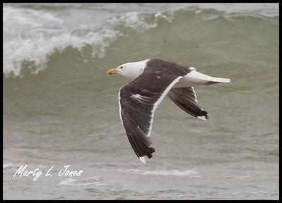 Greater Black-backed Gull, Miller Beach, Lake County, Indiana, September 5, 2008.