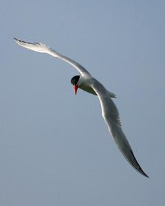 Caspian Tern, NIPSCO Breakwall, Lake Michigan, Michigan City, Lake County, Indiana, July 17, 2007.