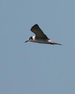 Black Tern, Pine Creek/Feldt Marsh, August 30, 2007.