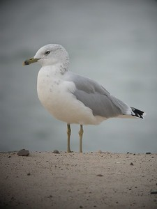 Ring-billed Gull, Beverly Shores, Indiana, Sept 13, 2005.