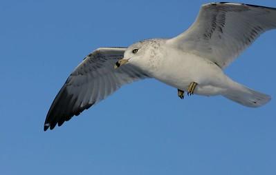 Ring Billed Gull, Mich City, Indiana, marina, Dec 21, 2004.