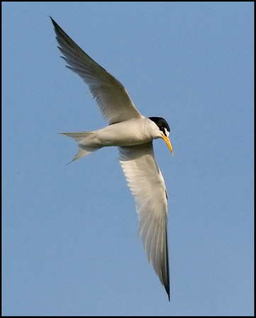Jaegers, Gulls, Terns - 19 of the 23 species expected in Indiana have been photographed