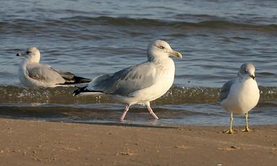 Herring Gull, Miller Beach, Lake County, Indiana, October 17, 2007.