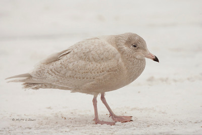 Glaucous Gull, 1st cycle, Michigan City Harbor, Michigan City, Indiana, December 2010. #294