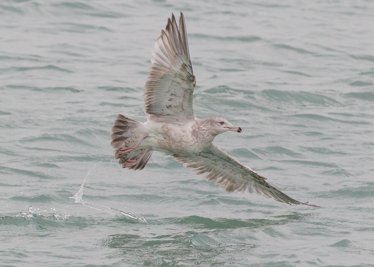 Herring Gull, Hammond Marina, Lake County, Indiana, January 12, 2013.