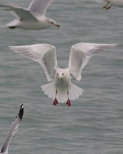 Iceland Gull, Hammond Marina, January 12, 2013. #314