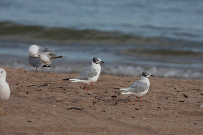 Bonaparte's Gulls, In transition from alternate to basic plumage, Miller Beach, Indiana, August 18, 2010.