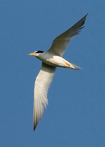 Federally-endangered interior Least Tern, Cane Ridge FWA, Gibson County, Indiana, July 23, 2009.