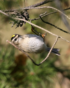 Golden-crowned Kinglet, West Beach, Lake County, Indiana, October 17, 2007.