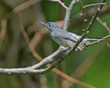 Blue-gray gnatcatcher, spring 2005, Newport, Indiana along the Wabash River.