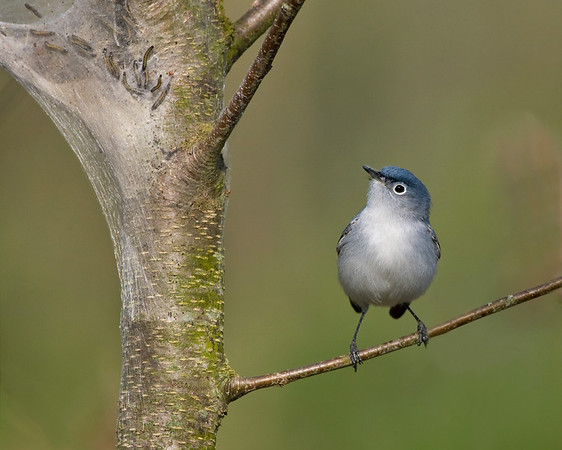 Kinglets, Gnatcatchers - All three species expected in Indiana have been photographed