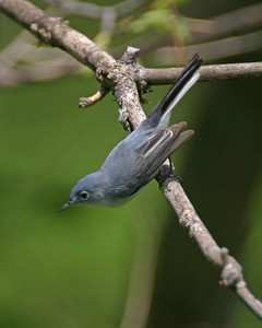 Blue-gray Gnatcatcher, along the Wabash River north of Newport, Vermillion County, Indiana, April 24, 2006.
