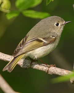 Ruby-crowned Kinglet, The Burn, Montgomery County, Indiana, May 4, 2006.