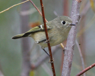 Ruby-crowned Kinglet, Chinook Mine North, Clay County, Indiana, October 13, 2007.