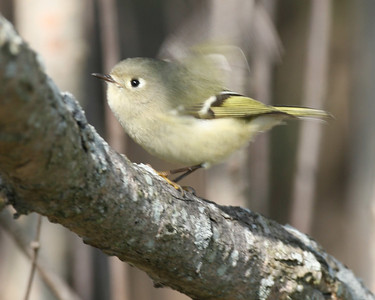 Golden-crowned Kinglet, Chinook Mine North, October 20, 2006.  I saw the gold crown prior to this pic.