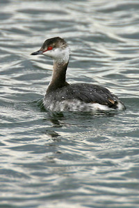 Horned Grebe, Chinook Mine, Vigo County, Indiana, March 26, 2006.