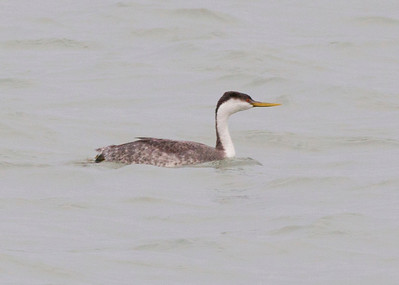 Western Grebe, Port of Indiana, January 12, 2013. #313.