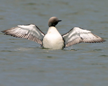 Pacific Loon, Cecil Harden Lake, Parke County, Indiana, June 28, 2006.  Pacific Loons are exceedingly rare in Indiana in summer as is a bird in alternate (breeding) plumage.