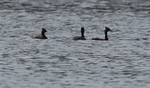 Three Eared Grebes reported by Steve Pancol at Eagle Creek Park on April 13, 2010.  Grebes were well offshore and this was the best photo I could get.