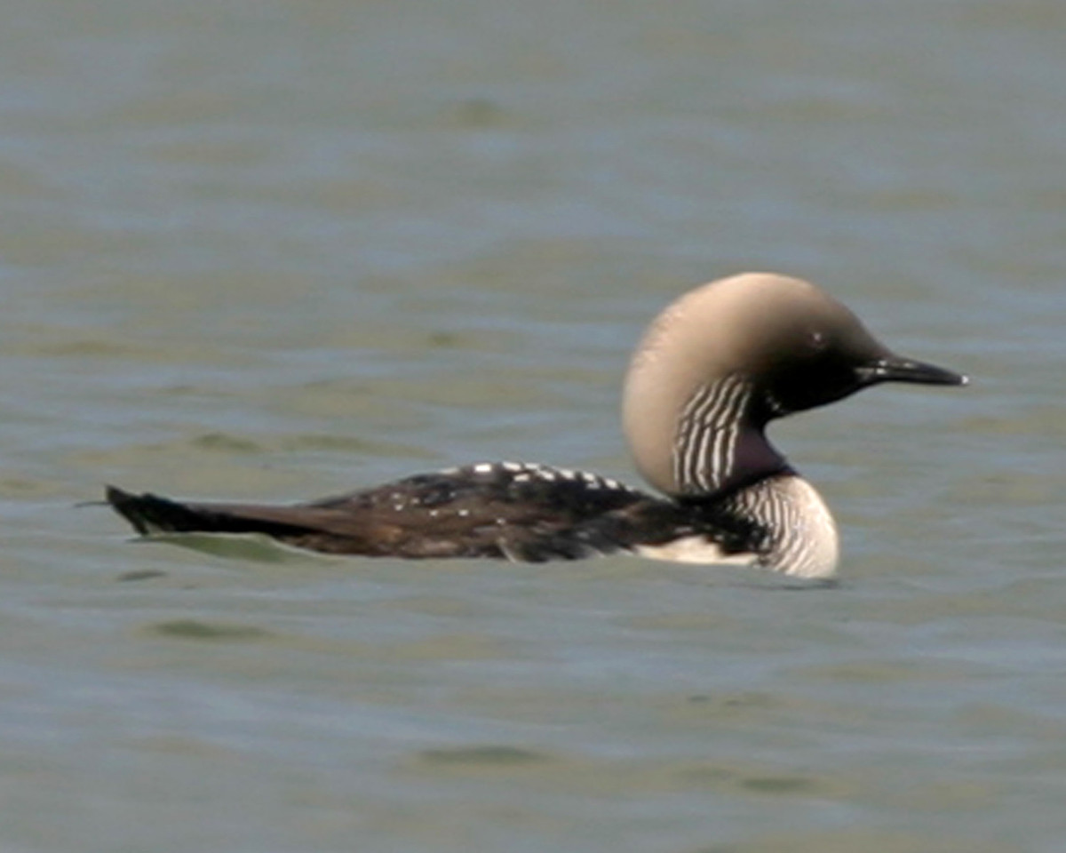Pacific Loon, Cecil Harden Lake, Parke County, Indiana, June 28, 2006