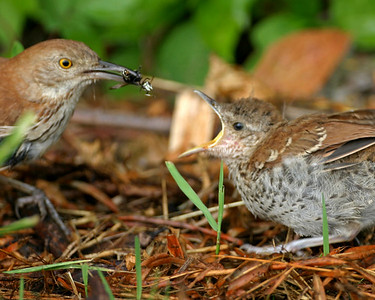 Brown Thrasher feeding its fledgling, Brazil Lagoons, Clay County, Indiana, July 9, 2006