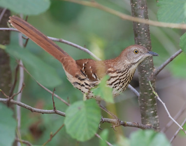 Brown Thrasher, Raccoon Lake, Parke County, Indiana, September 16, 2010.