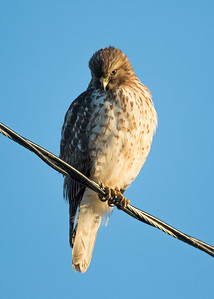 Coopers or Sharp-shinned?