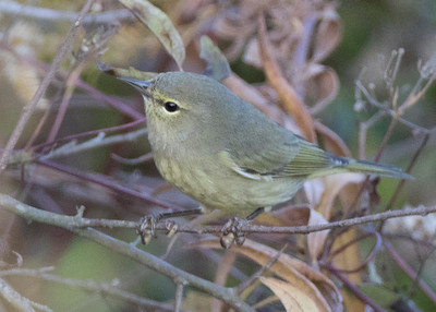 Orange-crowned Warbler, Patoka Lake, Orange County, Indiana, October 20, 2015.