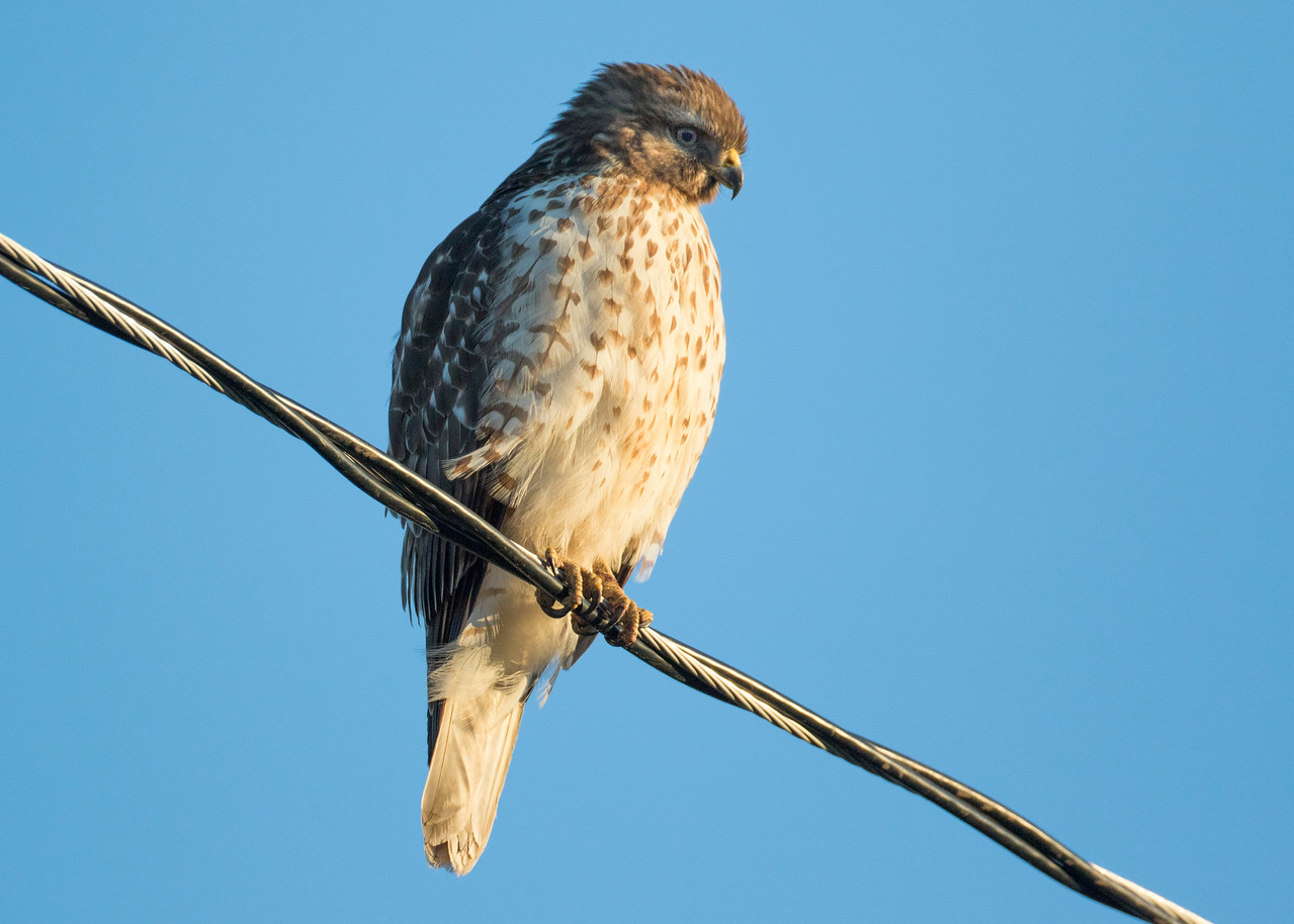Coopers or Sharp-shinned Hawk?