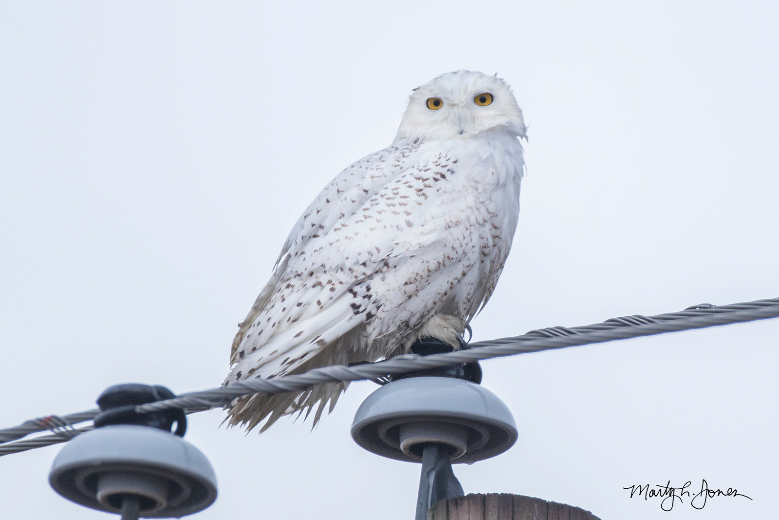 I found this owl while driving to work on the morning of February 14, 2018.  First seen on the ground and then flew to utility pole located at mile marker 67 on highway 41, Knox County, Indiana.  Seen later by Gary and Lisa Bowman, Judy Harrison, and Evan Speck.