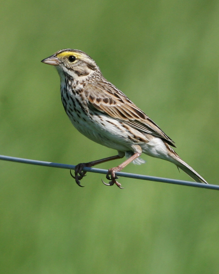 Savannah Sparrow, Chinook Mine North, May 12, 2007.