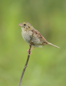 Henslow's Sparrow, May 2005, Northern Chinook Mine, Clay County, Indiana.