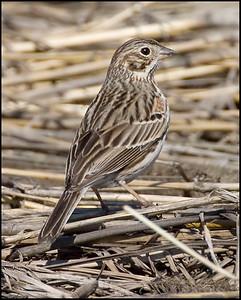 Vesper Sparrow, 200E 800N, Montgomery County, Indiana, April 8, 2009.