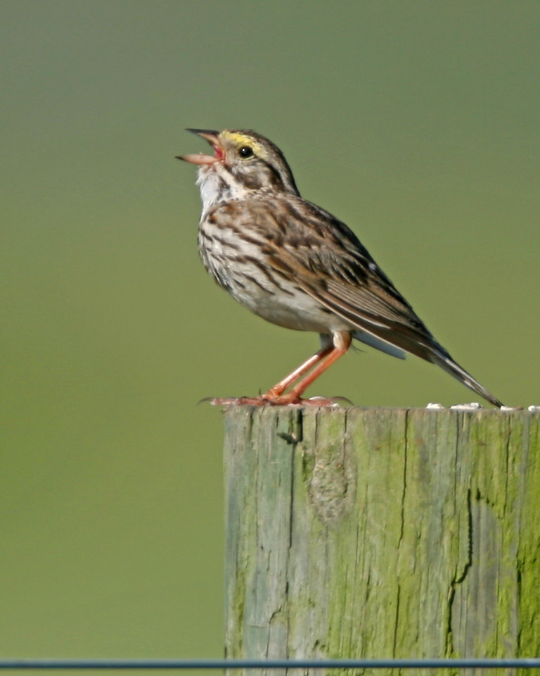 Savannah Sparrow, Chinook Mine North, July 23, 2006.