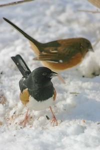 Male and Female Eastern Towhee's, Terre Haute, Dec 26, 2004.