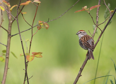 Chipping Sparrow in Spicebush, Vigo County, Indiana, May 4, 2012.