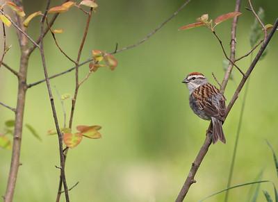 Chipping Sparrow in Spicebush, Vigo County, Indiana, May 4, 2012.