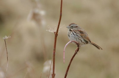 Song Sparrow, JI Case Wetlands, Feb 19, 2005.