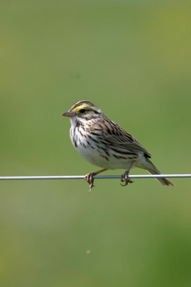 Savannah Sparrow, Chinook Mine, May 2005