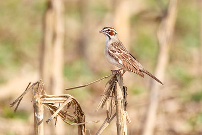 Lark Sparrow, 400 W 350 N, Daviess County, Indiana (NW of Washington near the west fork of the White River).  Bird was singing and very close to the road in a corn stubble field.  June 14, 2011 at around 6:00 p.m.