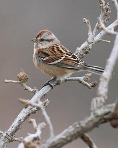 American Tree Sparrow, Pine Creek Gamebird Habitat, January 5, 2007.