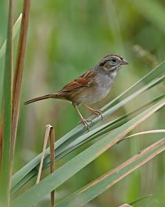 Swamp Sparrow, Beehunter Marsh Splitter Levee, September 30, 2006.